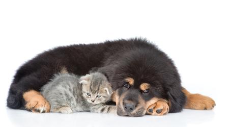 eared: Sad tibetan mastiff puppy lying with kitten. isolated on white background.