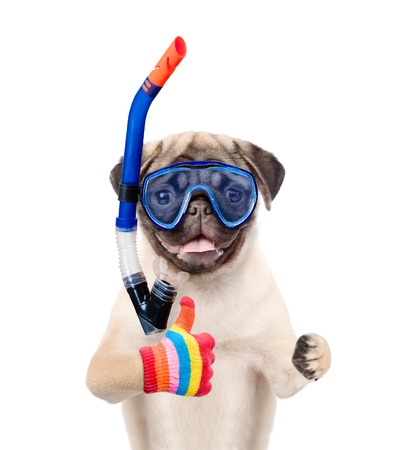 scuba goggles: Funny dog in snorkeling mask showing thumbs up. Isolated on white background. Stock Photo