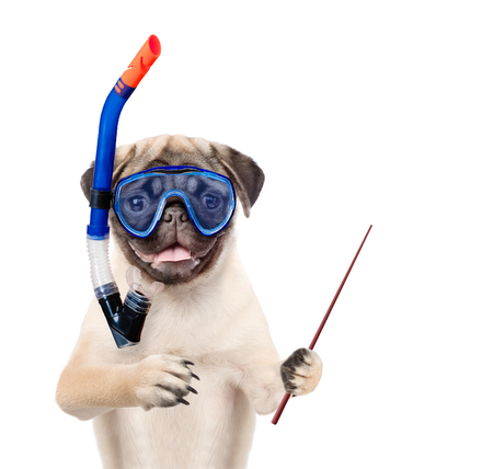 Funny dog in snorkeling mask with tube holding pointing stick. Isolated on white background.