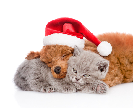 Sleeping poodle in red christmas hat hugs a kitten. isolated on white background. Stock Photo