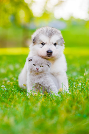 Alaskan malamute puppy and kitten sitting together on green grass.