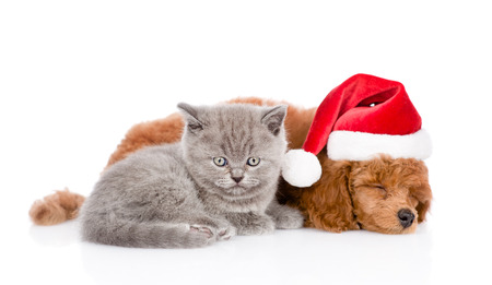 Tiny kitten and Poodle puppy in red christmas hat together. isolated on white background.