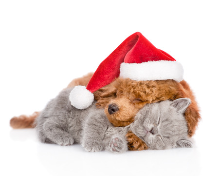 Sleeping poodle in red christmas hat hugs a kitten. isolated on white background. Foto de archivo