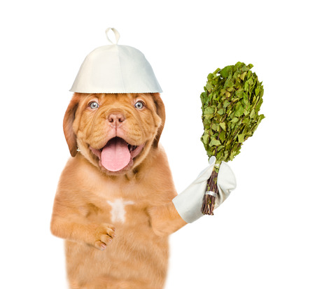 Dog in the hat for a bath holding a birch broom. isolated on white background.