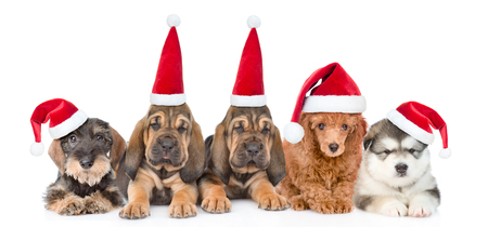 Group of purebred puppies with red christmas hats . isolated on white background.