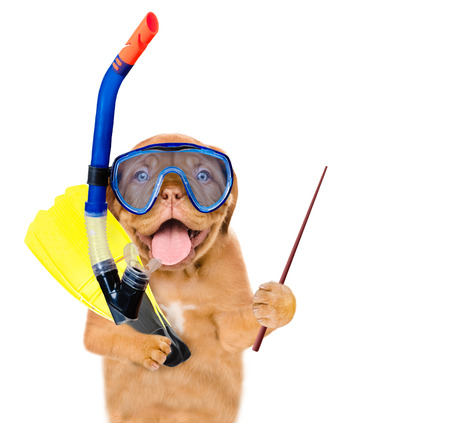 scuba goggles: Funny dog in snorkeling mask with flippers holding pointing stick. Isolated on white background.