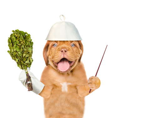 dog grooming: Dog in a hat for a sauna holding a birch broom and pointing stick. isolated on white background. Stock Photo