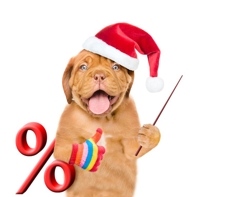 Funny puppy in red christmas hat with a percent sign and pointing stick showing thumbs up. isolated on white background. Stock Photo