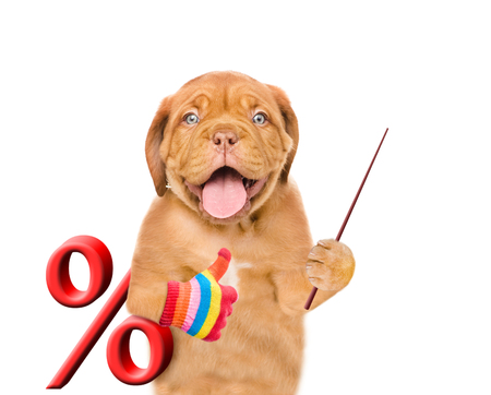Funny puppy with percent sign holds pointing stick. isolated on white background.