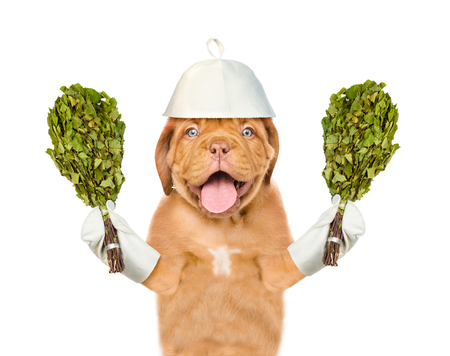 finnish bath: Dog in a hat for a sauna holds two birch brooms. isolated on white background.