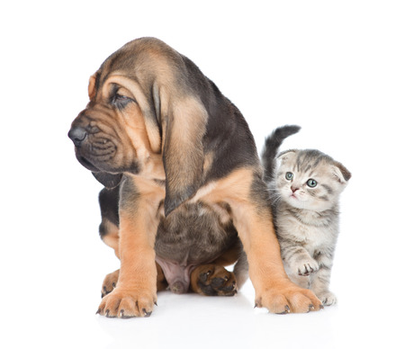 Bloodhound puppy sitting with tabby kitten. isolated on white background.