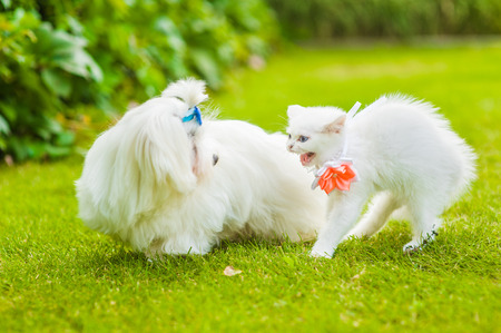 Frightened kitten and maltese puppy on green grass.