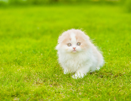 Highland fold kitten sitting on green grass. Space for text. Stock Photo