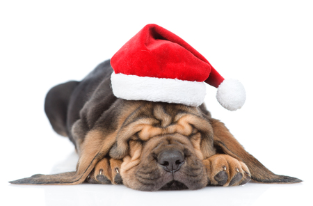 bloodhound: Sleeping bloodhound puppy in red christmas hat. isolated on white background. Stock Photo