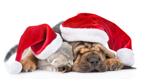 rape: Sleeping bloodhound puppy in red christmas hat embracing kitten. isolated on white background. Foto de archivo