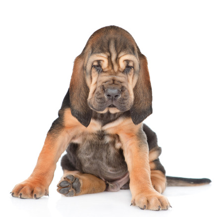 Bloodhound puppy sitting in front view. isolated on white background.