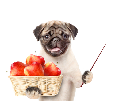 Funny puppy holding a basket of apples and pointing stick. isolated on white background.