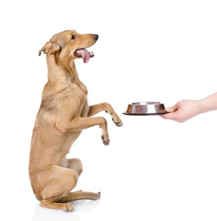 혼합 된 빵 개가 음식을 요구하는 뒷다리에 선다.