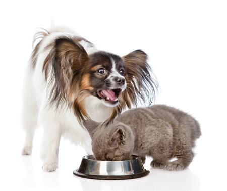 Papillon puppy and tiny scottish kitten eating together. isolated on white background.