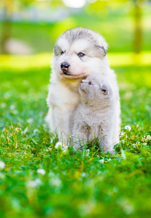 Alaskan malamute puppy and kitten sitting together on green grass. Space for text.