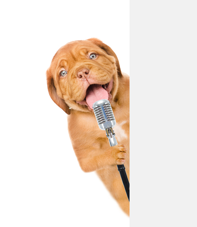 Happy puppy holds retro microphone above white banner. isolated on white background. 版權商用圖片