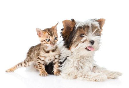 Biewer-Yorkshire terrier puppy and bengal kitten sitting together. isolated on white background.