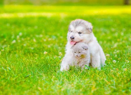 Malamute puppy embracing kitten on summer green grass. Space for text.