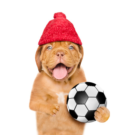 Dog in warm red hat  holding a soccer ball. isolated on white background.