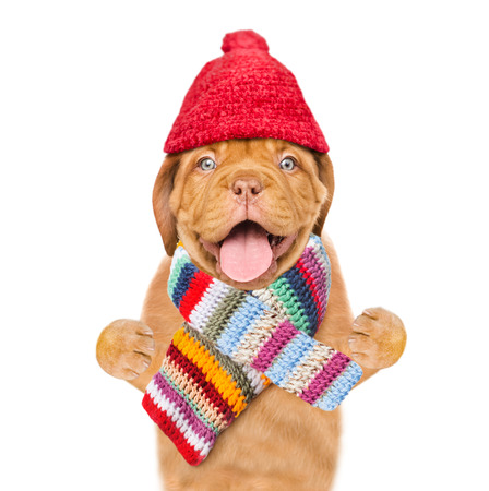 Funny dog  wearing a warm hat with pompon and and scarf. isolated on white background. Stock Photo