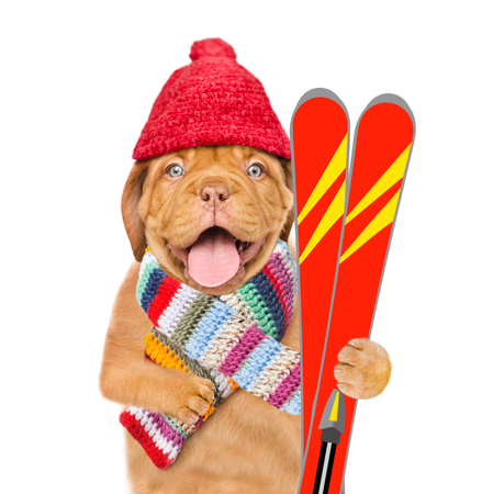 Funny puppy in warm hat and scarf holds in his paws mountain skiing. isolated on white background.