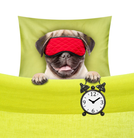 Funny dog sleeping  with alarm clock and eye mask.  isolated on white background.