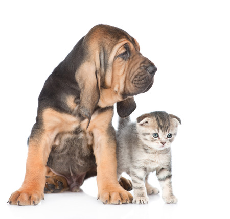 Bloodhound puppy with tabby kitten looking away. isolated on white background.