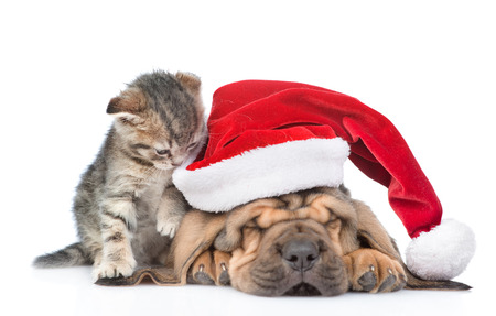 Sleeping bloodhound puppy in red christmas hat and kitten. isolated on white background. Focus on cat.