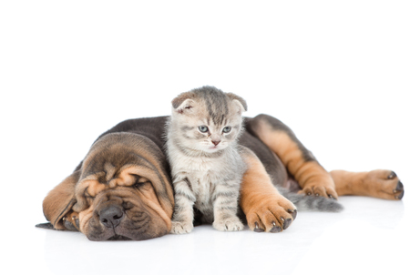 Sleeping bloodhound puppy embracing kitten. isolated on white background.