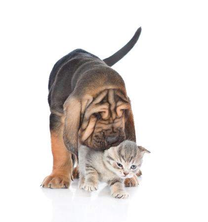 Puppy playing with kitten. isolated on white background.