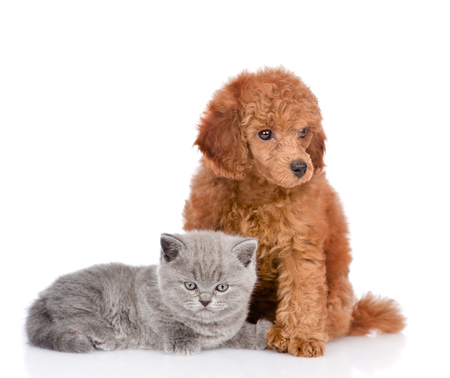 enano: Poodle puppy and tiny kitten  together. isolated on white background. Foto de archivo