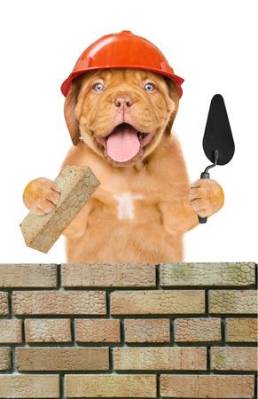 面白い子犬ビルダーこてとレンガ レンガの壁を構築します。白い背景上に分離。 写真素材