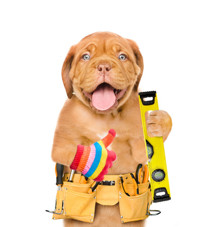 Funny puppy worker  with tool belt and  spirit level showing thumbs up  Isolated on white background.