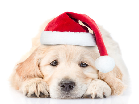 Sad Golden Retriever puppy in red christmas santa hat lying in front view. isolated on white background.
