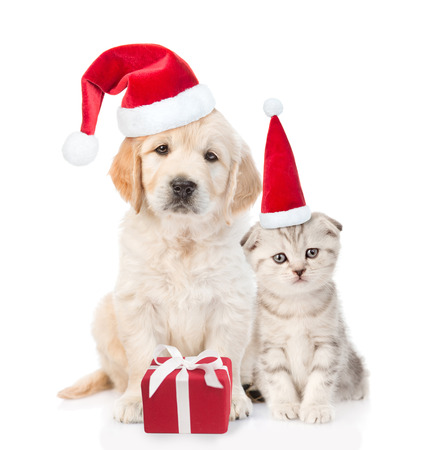 Funny kitten and golden retriever puppy in red christmas hats with gift box. isolated on white background.