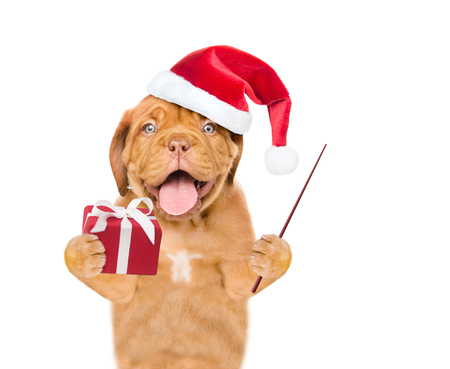 Funny puppy  in red christmas hat with gift box holding pointing stick. isolated on white background. Stock Photo