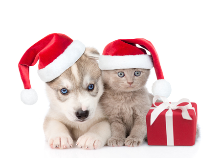 Scottish kitten and Siberian Husky puppy with santa hats and gift box. isolated on white background.