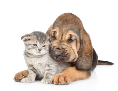 Bloodhound puppy hugs the kitten. isolated on white background. Stock Photo