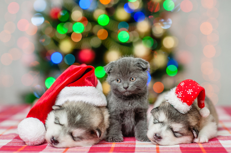 Cute kitten and sleeping puppies in Christmas hats on a background of the Christmas tree.