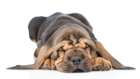Sleeping bloodhound puppy. isolated on white background.