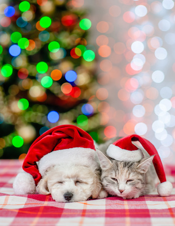 Sleeping bichon frise puppy and cat in red santa hats on a background of the Christmas tree. Space for text. Stock Photo
