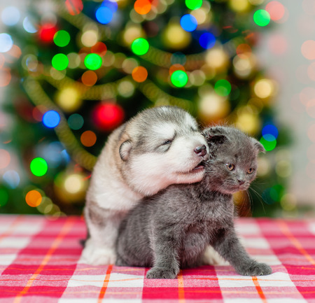 puppy kisses the kitten  on a background of the Christmas tree. Stock Photo