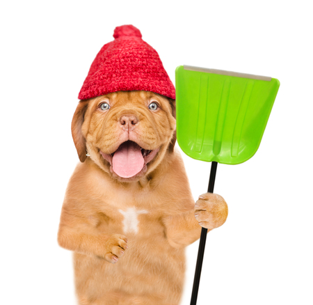 Funny puppy  wearing a warm hat with pompon and holds a shovel. isolated on white background.