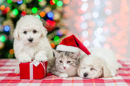 Group of a bichon frise pupies and kitten in red santa hat on a background of the Christmas tree. Stock Photo