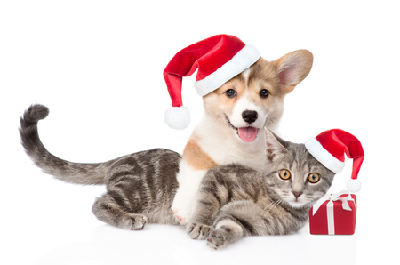Pembroke Welsh Corgi puppy and kitten in red santa hats with gift box. isolated on white background. Foto de archivo
